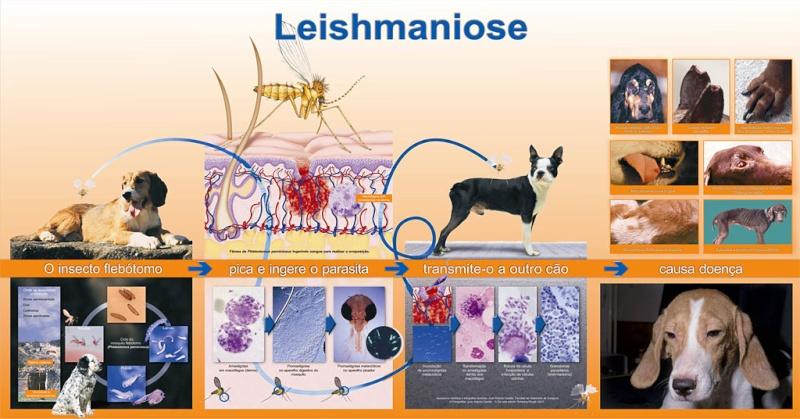 Leishmaniose canina Ciclo-10