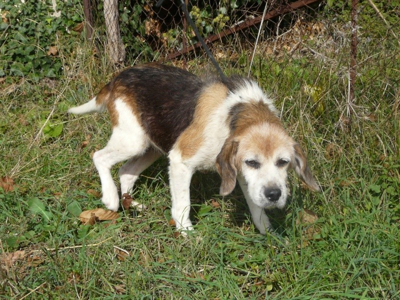 holly beagle tricolore crois fox n e en 96 spa de poitiers. Black Bedroom Furniture Sets. Home Design Ideas
