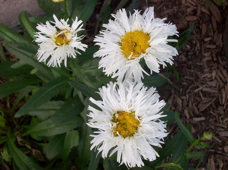 Chrysanthemum leucanthemum Crazy Daisy 100_0411