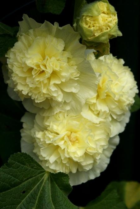 rose tremiere Dsc01416