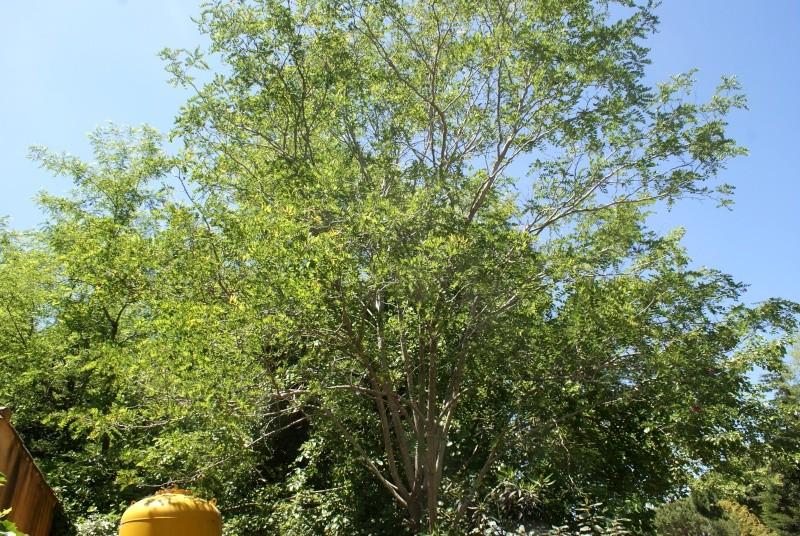 Robinier le faux acacia Dsc01757