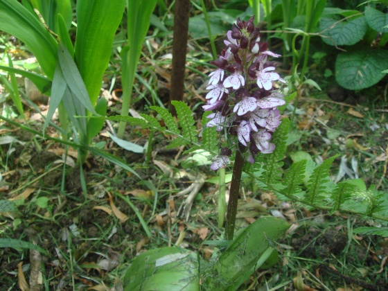 Fleur sauvage mauve: Orchis pyramidal Med-or10
