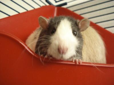 Débat du mois de mai : Les manies de vos rats Dsc02410