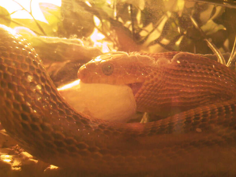 Smiling rat snake Photo-22