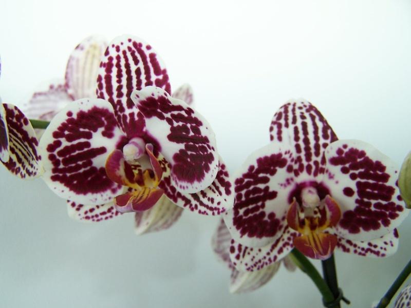 Phalaenopsis A_00510