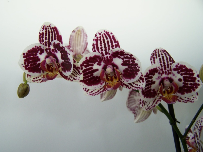 Phalaenopsis A_00610