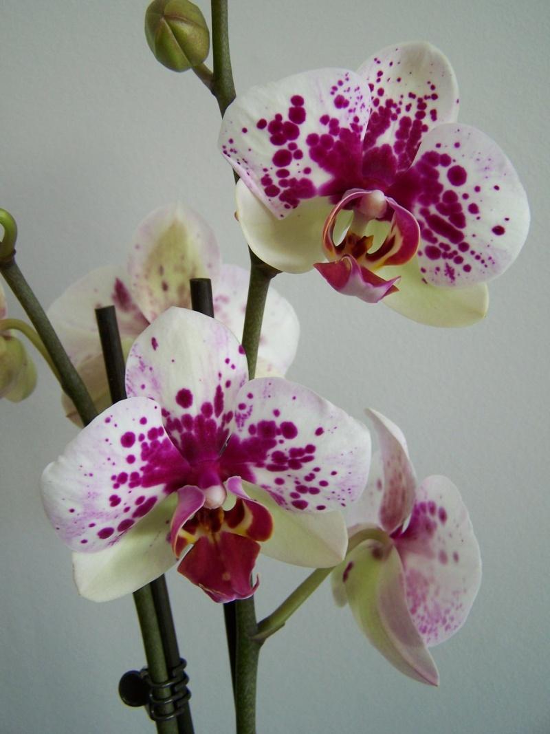 Phalaenopsis A_00810