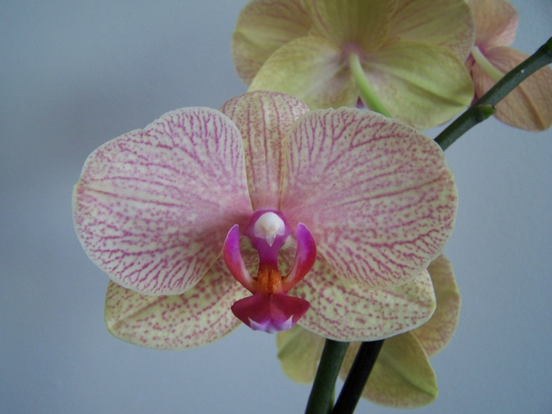 Phalaenopsis A_01010