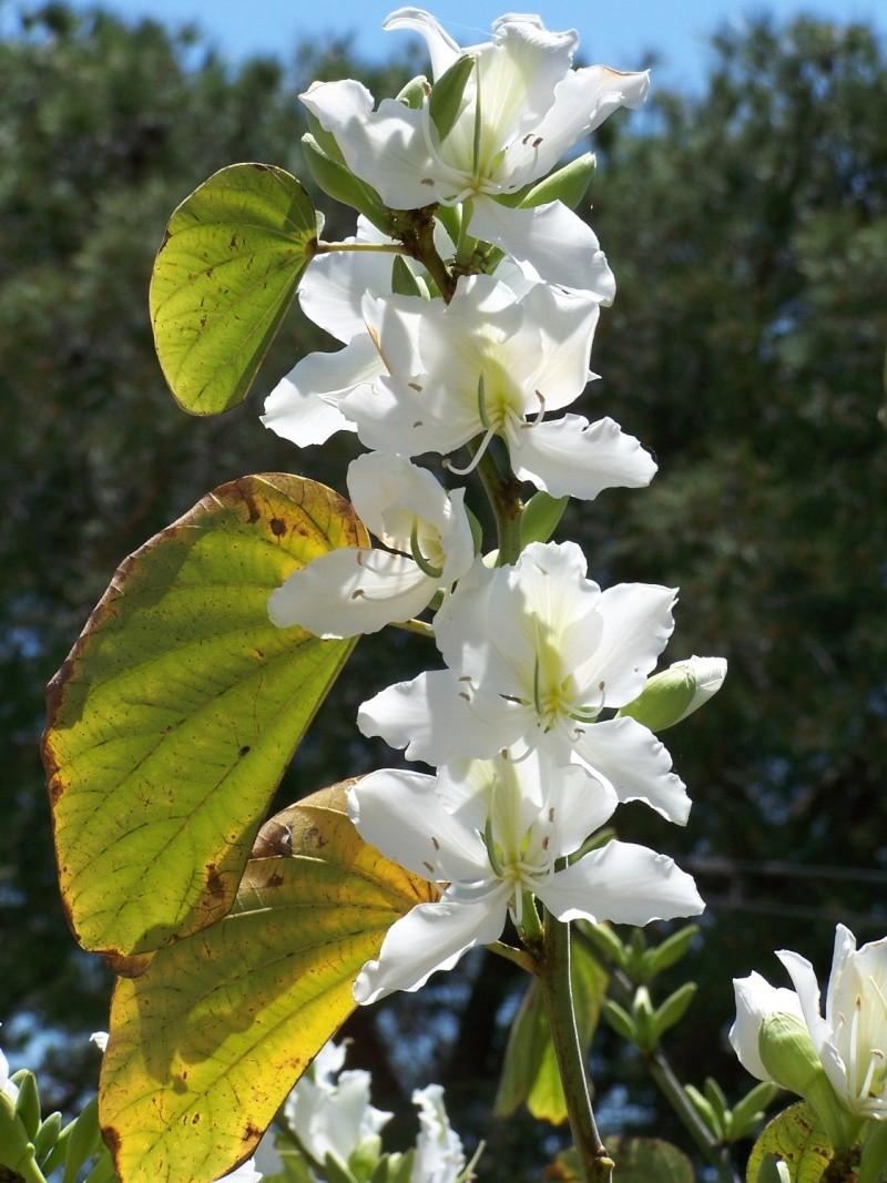Bauhinia variegata alba A_04910