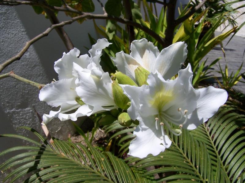 Bauhinia variegata alba A_05110