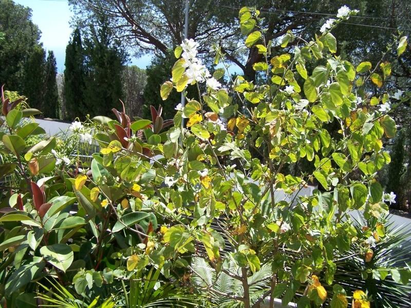 Bauhinia variegata alba A_05510