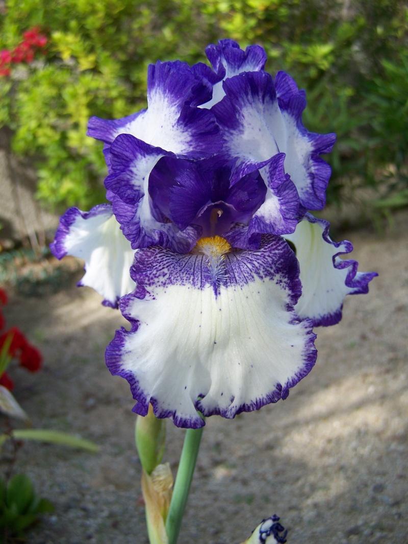 "Iris ""modern classic"" A_07810"