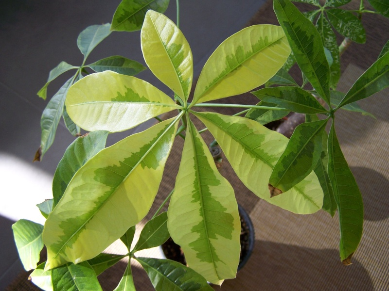 Pachira aquatica et ces cultivars panachés A_32110