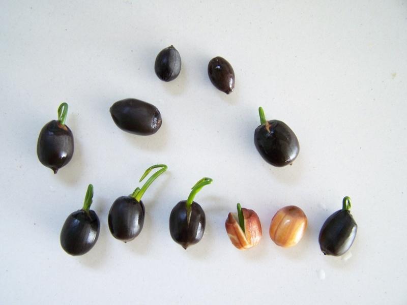 Semis de Nelumbo nucifera (Lotus) A_42410