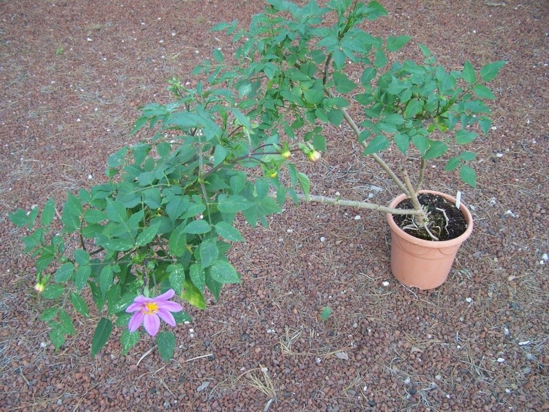 Dahlia imperialis - Page 3 A_51510