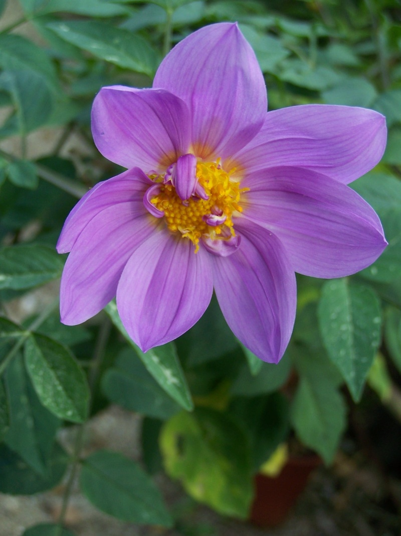 Dahlia imperialis - Page 3 A_51610