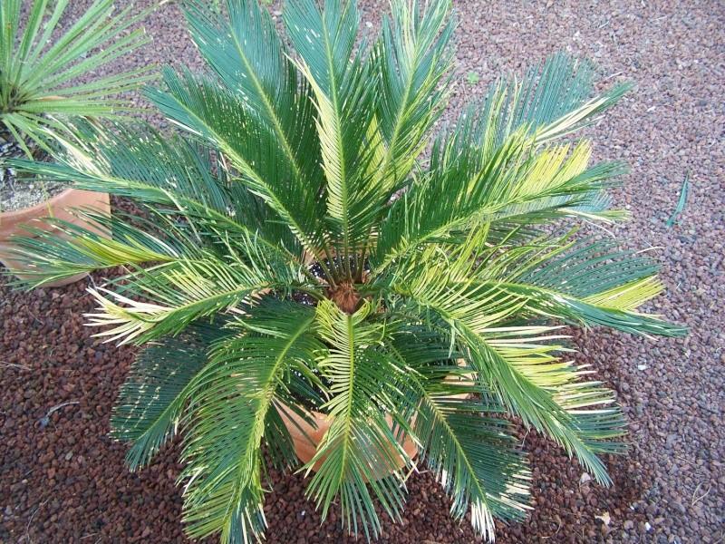 Cycas revoluta variegata A_53110