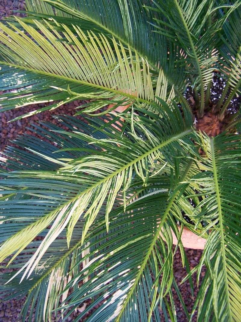 Cycas revoluta variegata A_53310