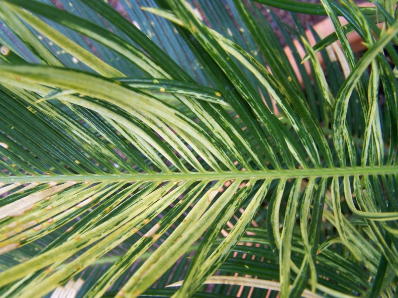 Cycas revoluta variegata A_54510