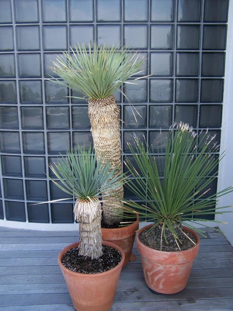 Yucca rostrata A_56610