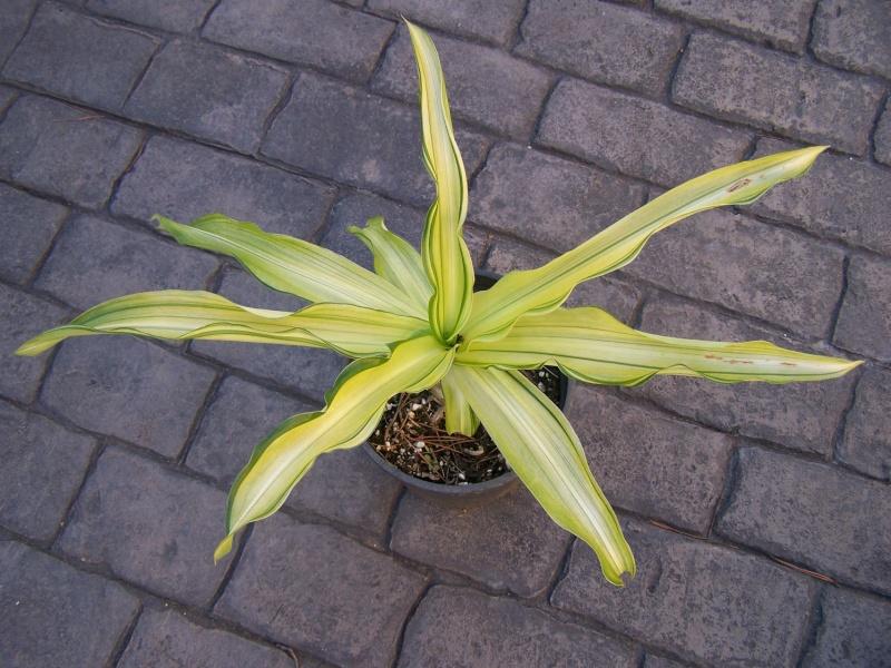 Crinum moorei medio picta (variegata) Crinum11