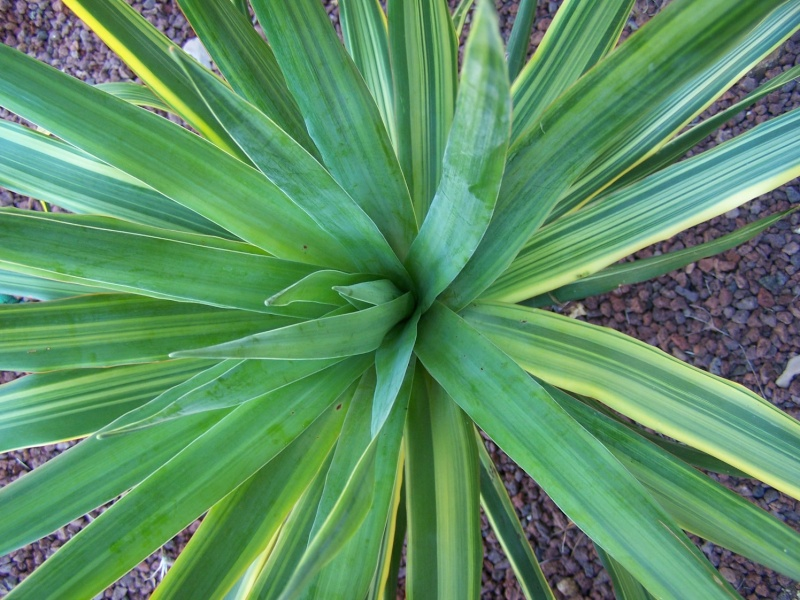 Dracaena drago variegata Dracae13