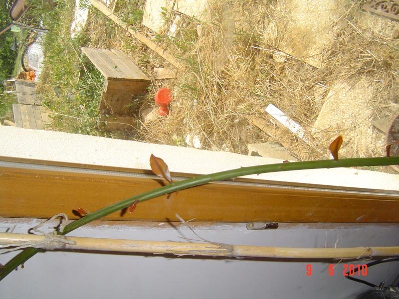 """Identification pour une plante """"verte"""" Dsc00412"""