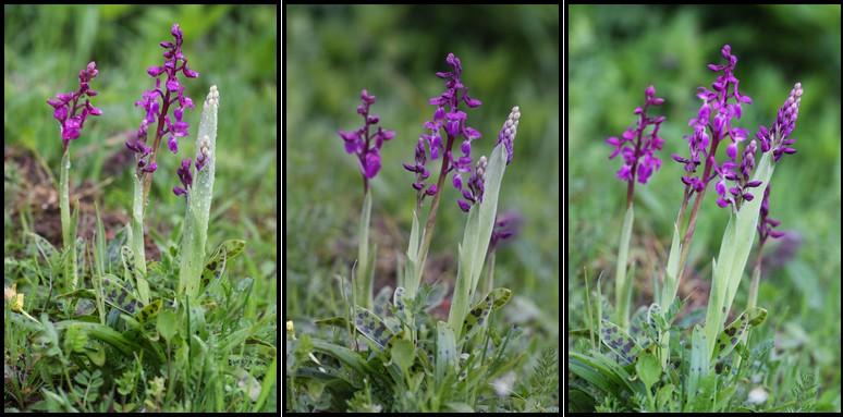 Orchis mascula ( Orchis mâle ) O_masc12