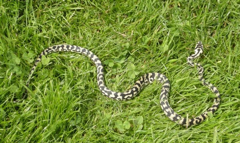 Petite promenade avec Momo Snake011