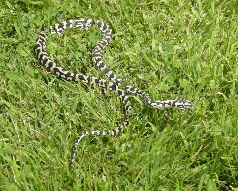Petite promenade avec Momo Snake013