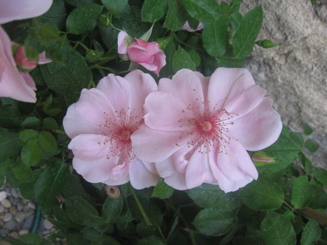 alterarosa : 32 nouvelles roses Amorgo10