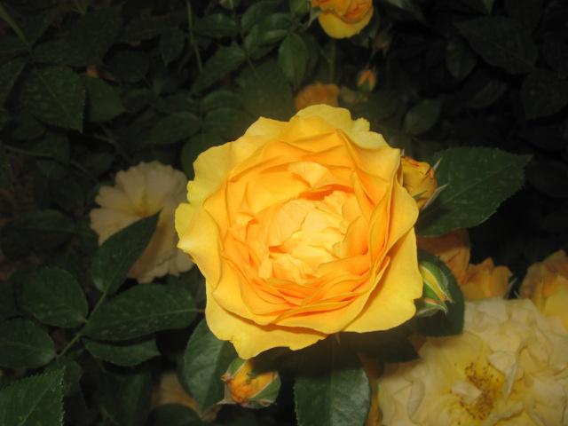 alterarosa : 32 nouvelles roses Anisad10