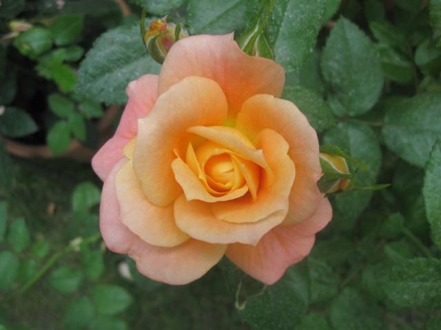 alterarosa : 32 nouvelles roses Bonne_10
