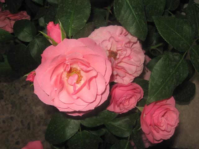 alterarosa : 32 nouvelles roses Bouque10