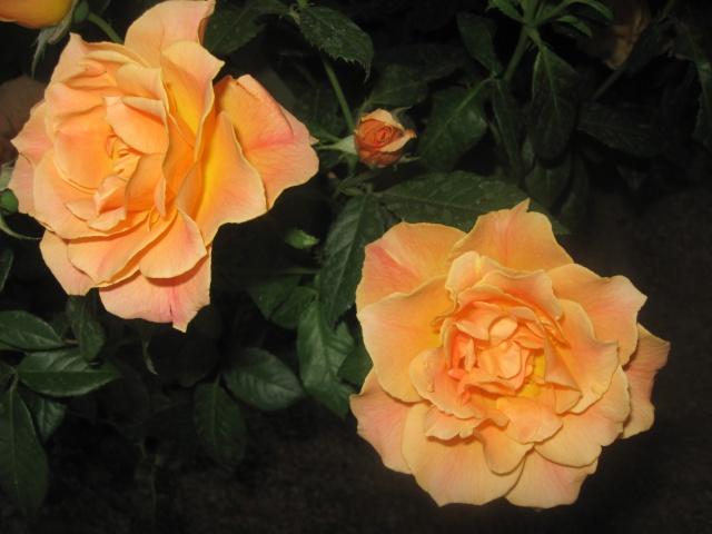 alterarosa : 32 nouvelles roses Don_qu10