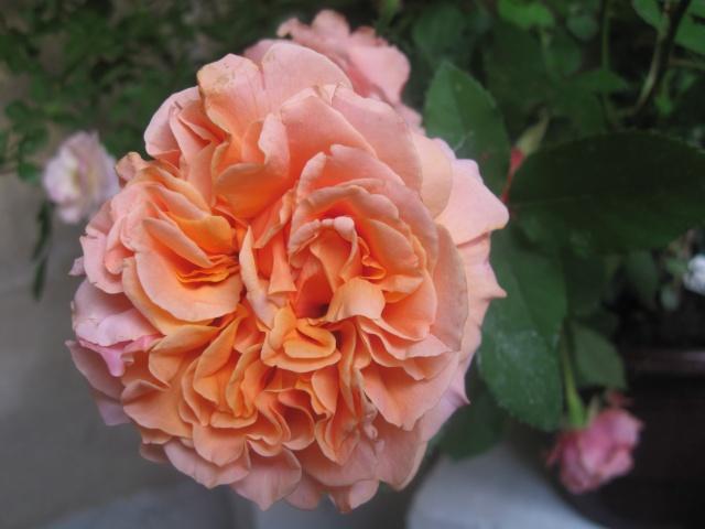 alterarosa : 32 nouvelles roses Frenes11