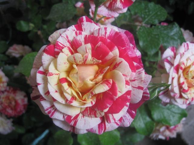 alterarosa : 32 nouvelles roses Img_0511