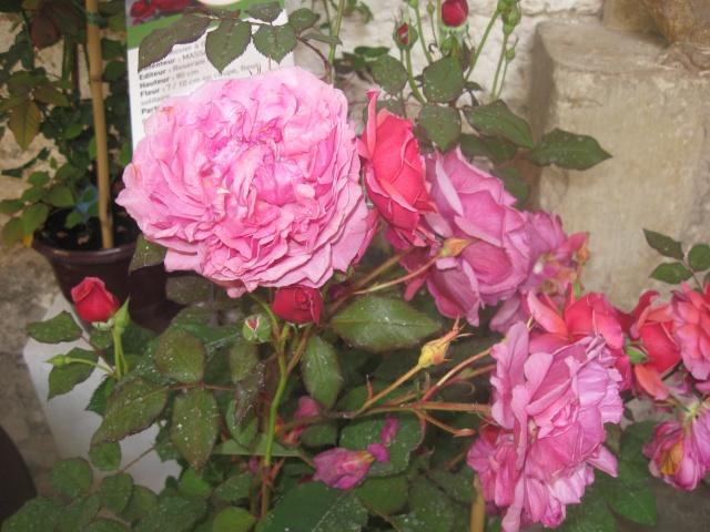 alterarosa : 32 nouvelles roses Img_0512