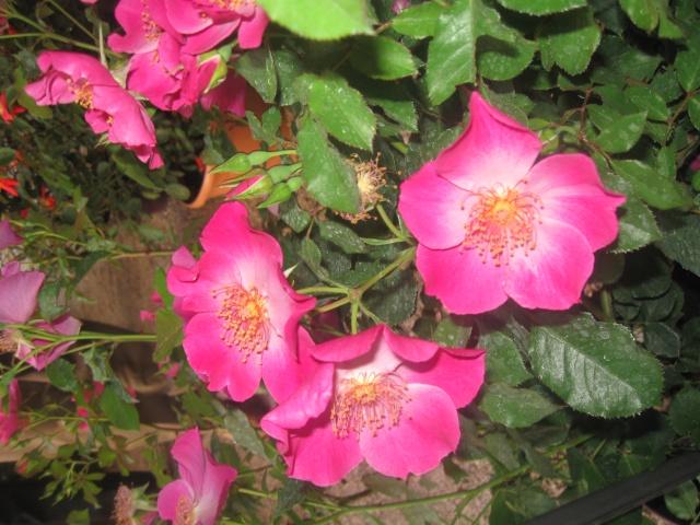 alterarosa : 32 nouvelles roses Img_0513
