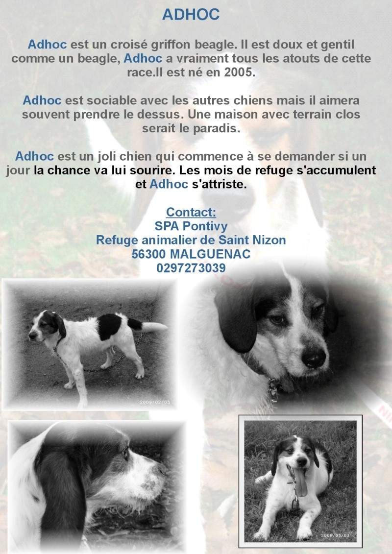 ADHOC, croisé beagle/griffon mâle, 5 ans 1/2 (56) Adhoc10