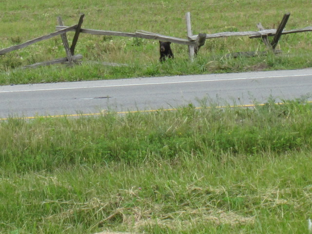 here is the west virginia bear he was spotted on 340 Spring12