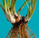 Le genre Sarracenia Rizome10