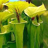 Le genre Sarracenia Sarrac12