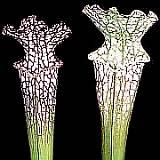 Le genre Sarracenia Sarrac13
