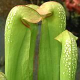 Le genre Sarracenia Sarrac14