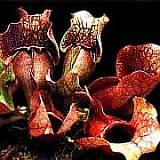 Le genre Sarracenia Sarrac17