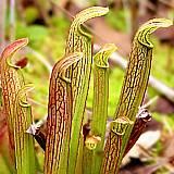 Le genre Sarracenia Sarrac18