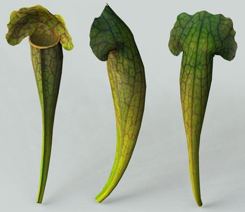 Le genre Sarracenia Sarrac19