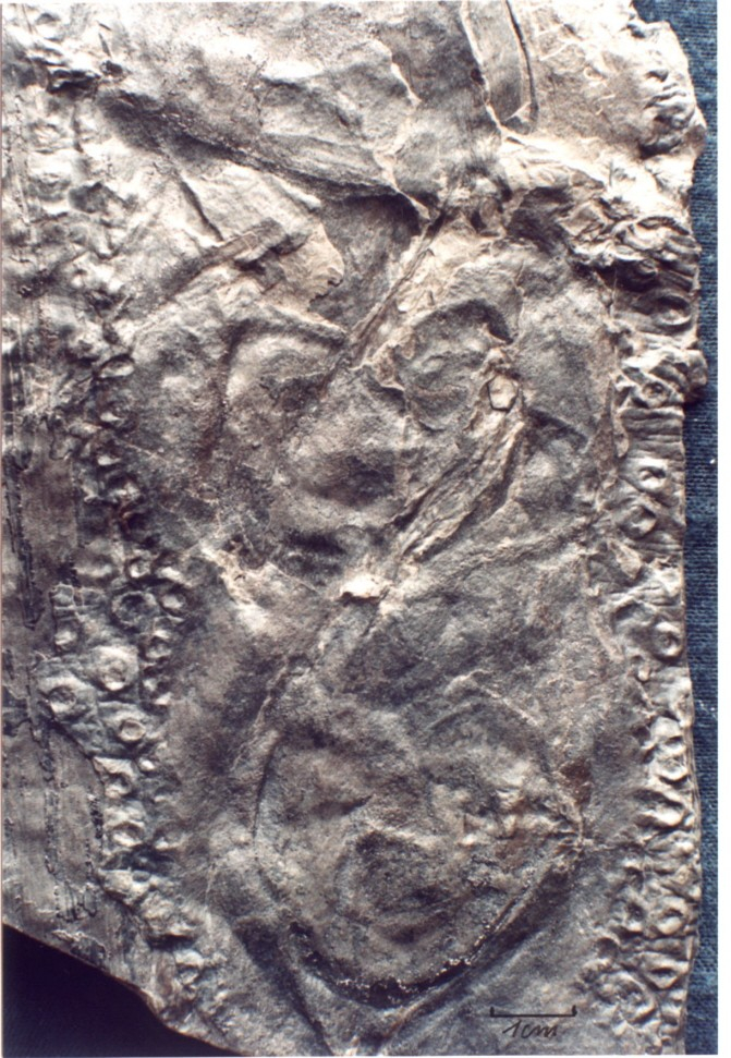 Megaphyton Artis , 1825 . 0822_c10