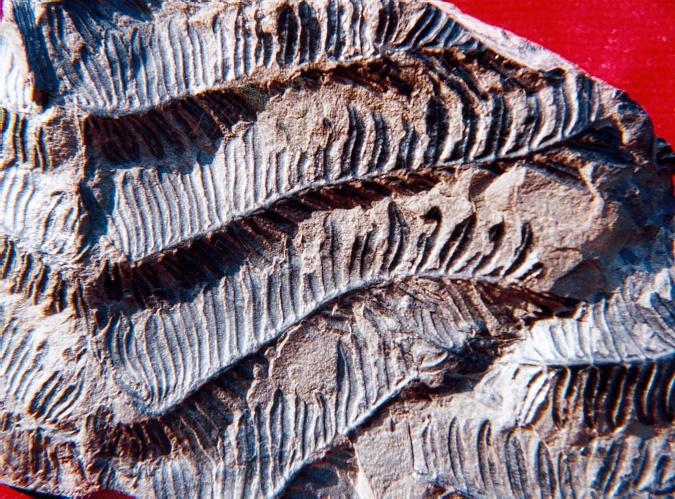 Alethopteris Sternberg 1825. Aletho12